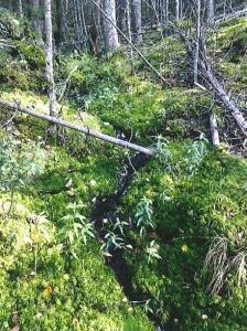 Bäcken rinner i västra delen av reservatet Jan i myren.
